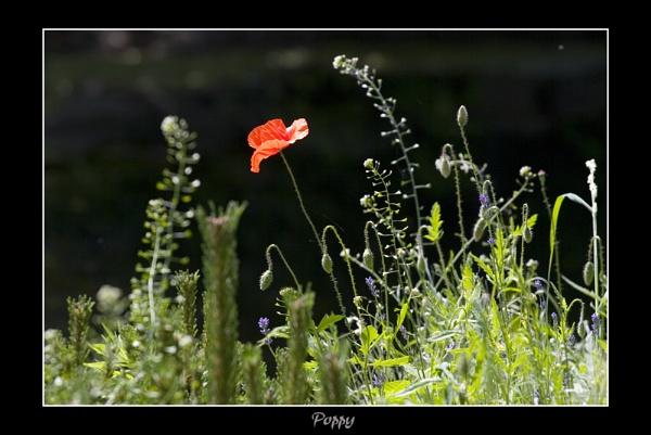 Poppy by NickCoker