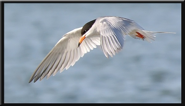 Forster\'s Tern by VNelson