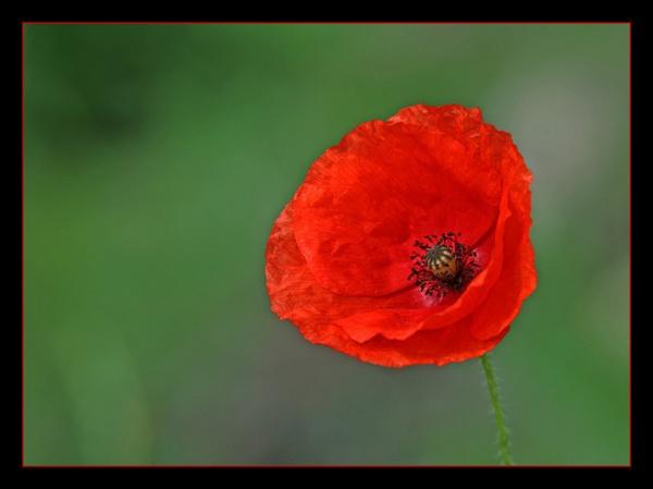Poppy by jamil