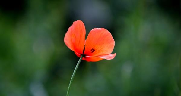 Poppy 2 by emefbee