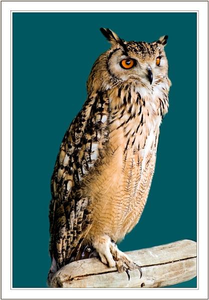 ~ Owl Eyes ~ by KKmoments