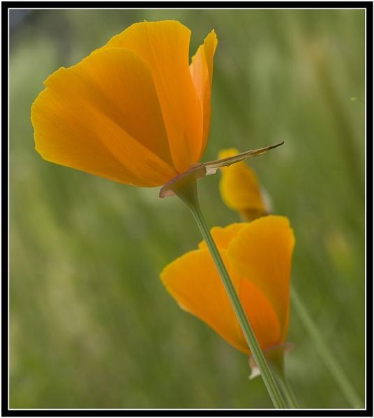 California poppy by Squirrel