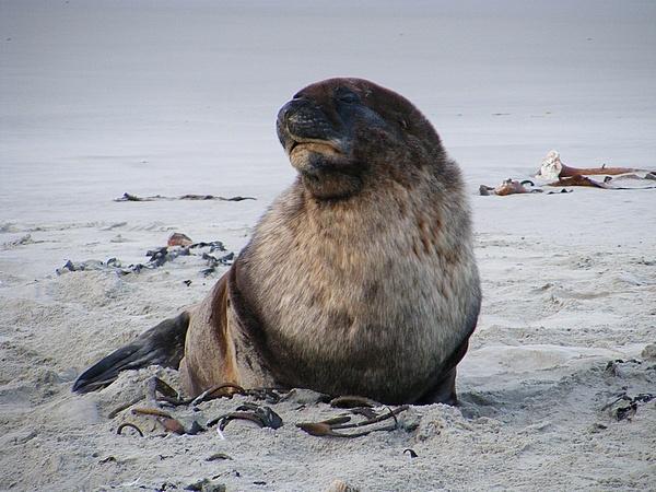 Adult Fur Seal. by MrBMorris