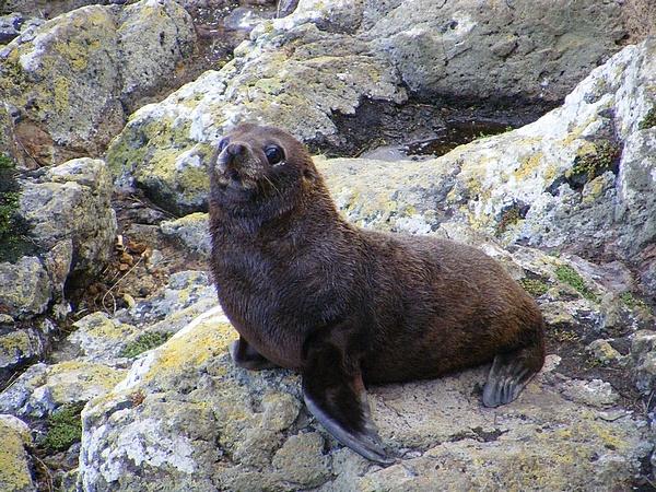 Fur Seal Pup by MrBMorris