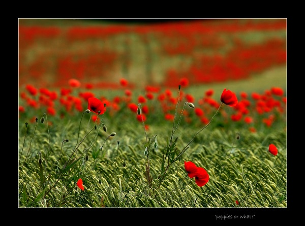 \'poppies or what?\' by limmy62
