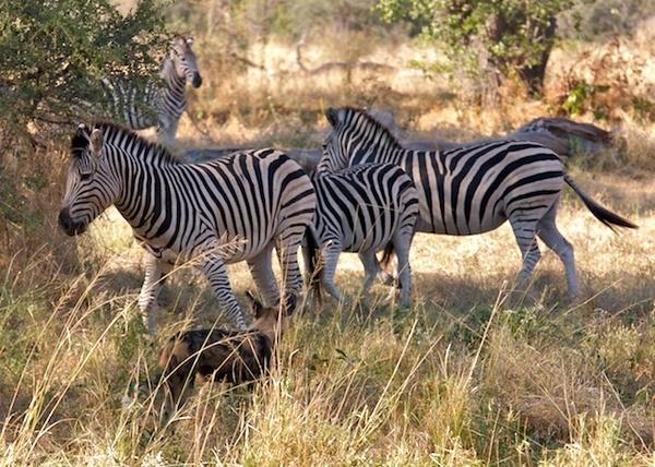 Wild Dog & Zebra by P_Higham