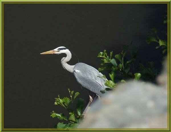 Grey Heron by Mikelane