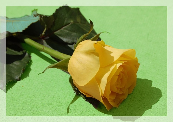 yellow rose by nasia