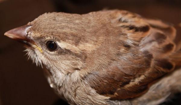 Sparrow ( I Think! ) by bracken_donna
