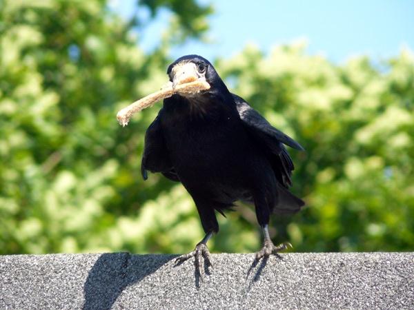 crow by biker_dude7