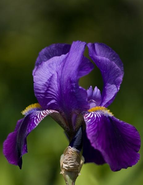 Iris by Serkta