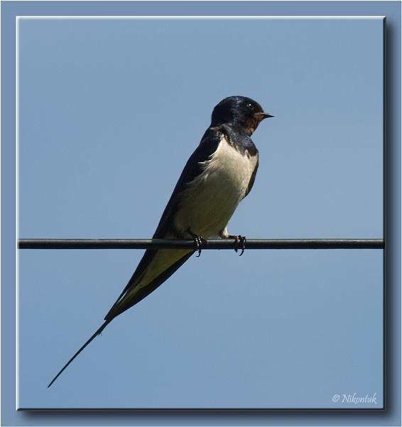 M/Barn Swallow by FeatherFriend