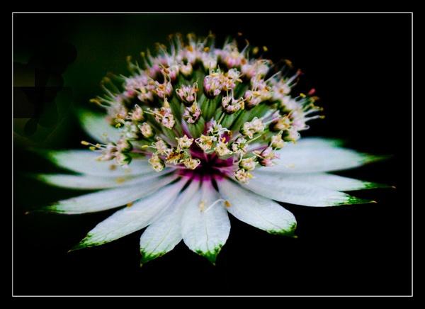 flower? by dwarf