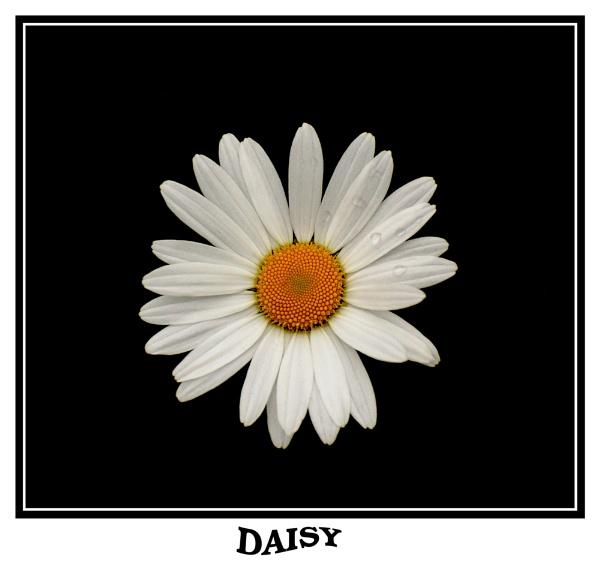daisy by ducatifogarty