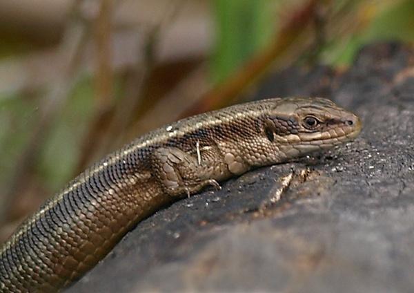 lizard by whiteswan01