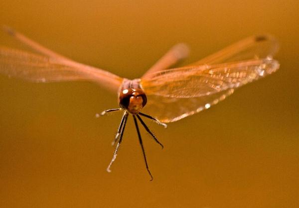 Dragon-flight by Baronred