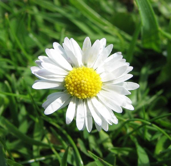 Daisy by funkyaxe