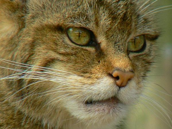 Wild Cat by jove