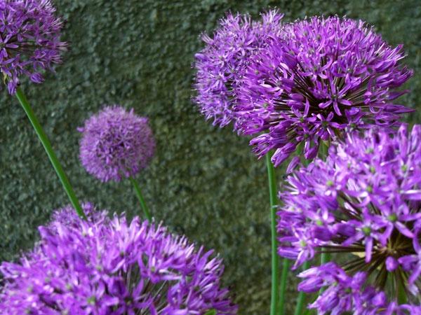 purple by MissLena
