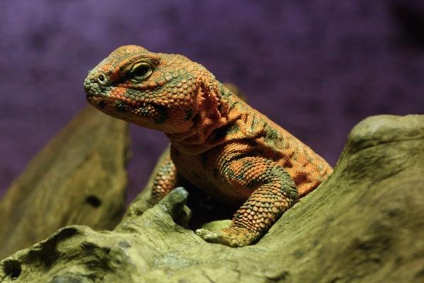 Spiny tailed lizard by john thompson