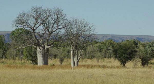 Boababs - north WA by paulblignaut