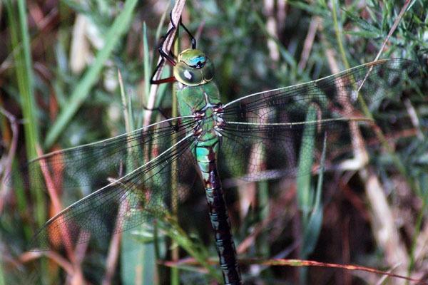 Emperor Dragonfly by kristinadimascio