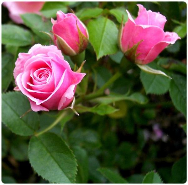 My Flower Garden !!(rose) by graceland