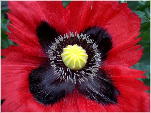 Flower From Garden(poppys) by graceland