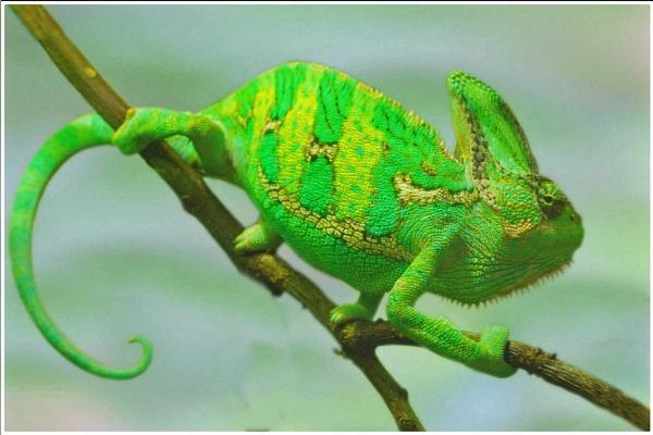 Desert Chameleon by MikeRC