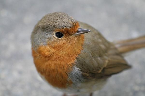 Mr Robin by Lizanne