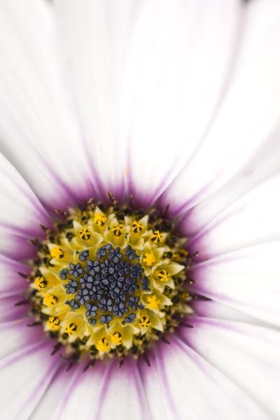 Purple Daisy by wheeldon
