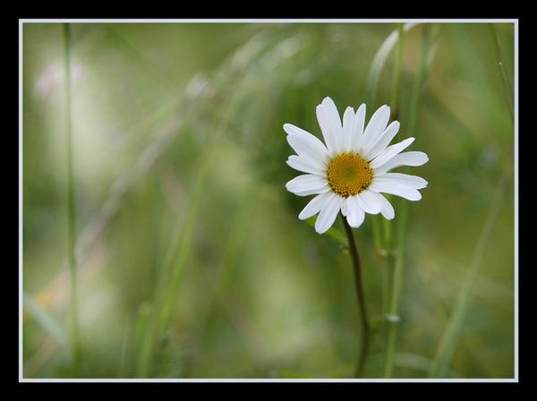 Daisy by jamil