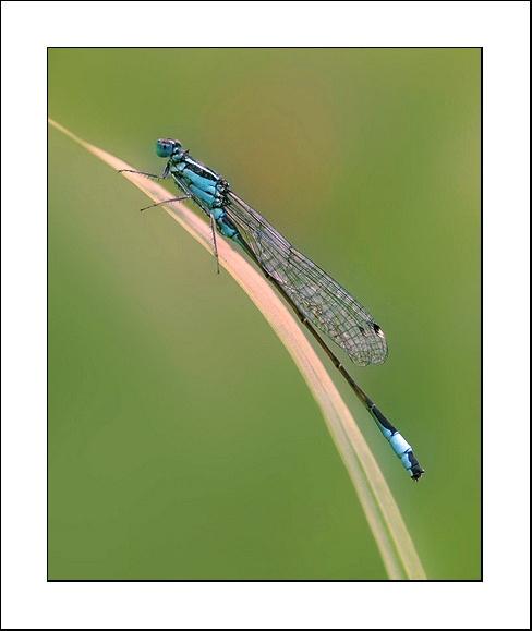damsel fly by clintnewsham