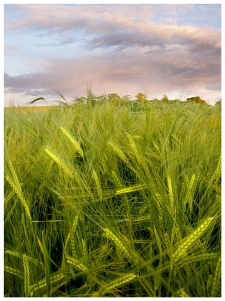 Summer corn by Vixs