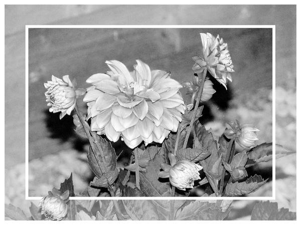 flowers by Rosie_cheeks