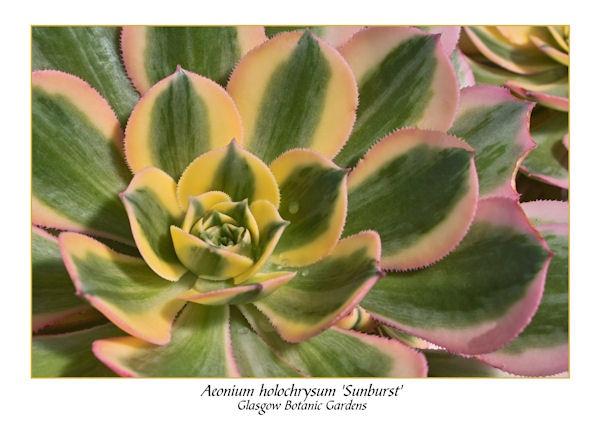 Aeonium holochrysum \'sunburst\' by thebigA