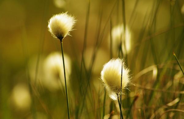 Bog Cotton by AllyN