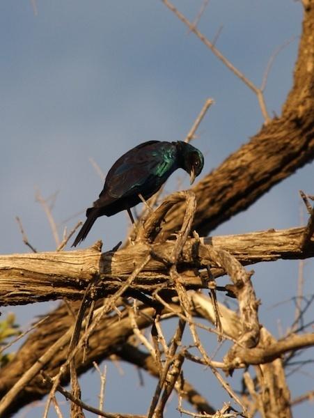 Glossy Starling by P_Higham