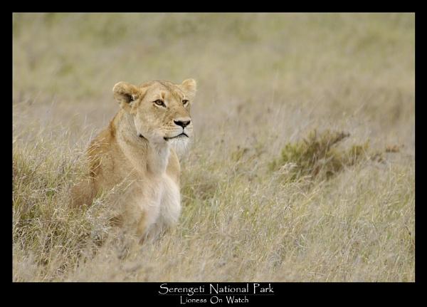 serengeti lions by rangerpaul