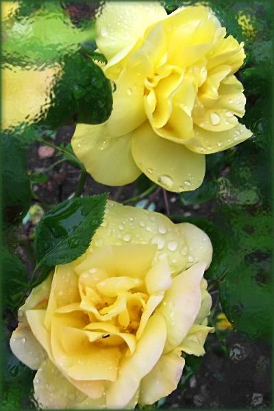 Yellow Roses by digiray63