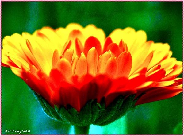 Marigold. by halena2