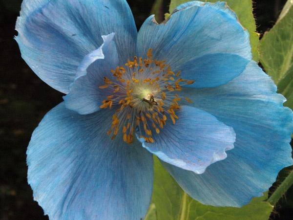Blue Poppy by Tournisol