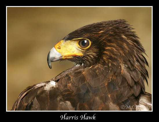 Harris Hawk by mialewis