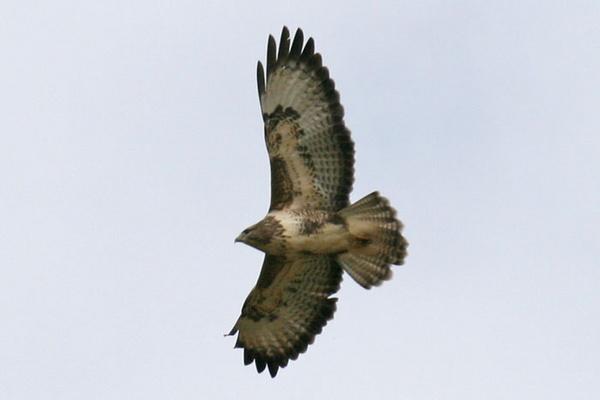 buzzard by fwatts