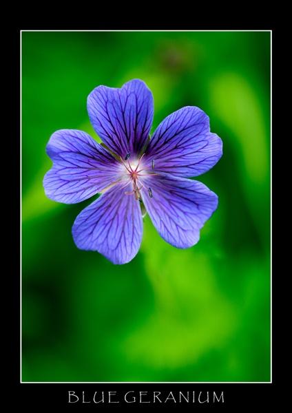 Blue geranium by allan_j