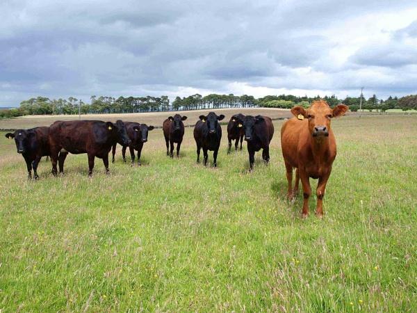 cattle by jennyk