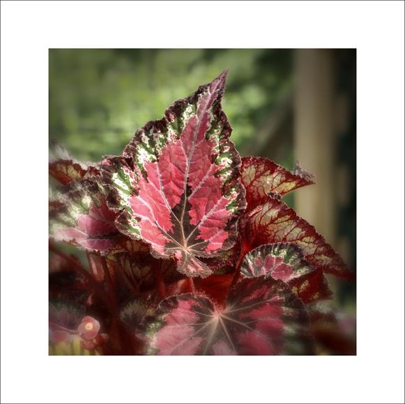 Begonia rex by paulmackiemaging
