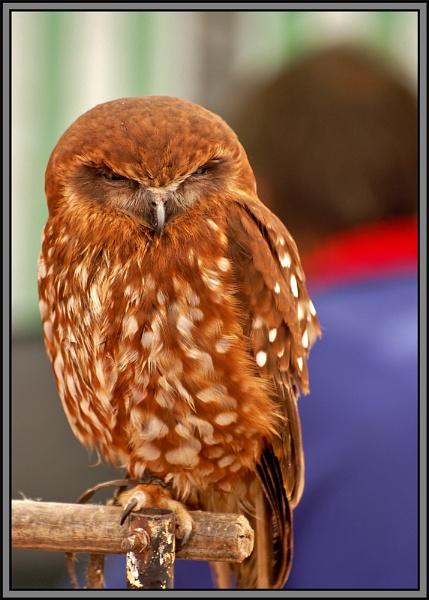 owl by ducatifogarty
