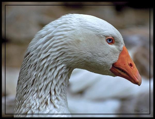 goose by ducatifogarty