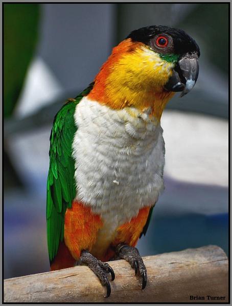 parrot by ducatifogarty